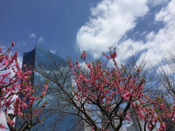 大阪城桃園 桃の花の見頃 2016