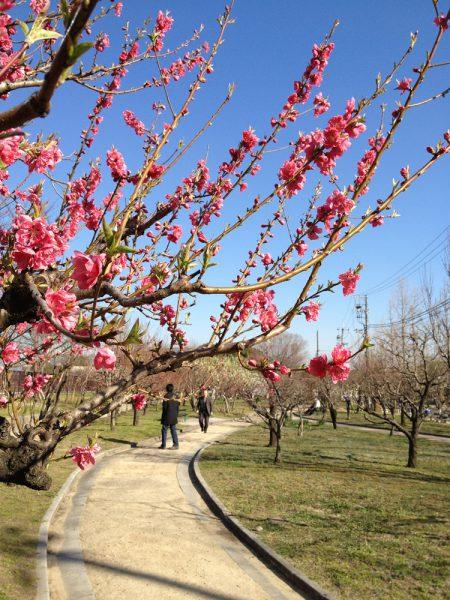 大阪城桃園 桃の花の見頃 2013
