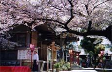 高津宮桜祭り 2015