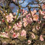 大阪城梅林 - Osaka Castle Park, Plum grove 2017