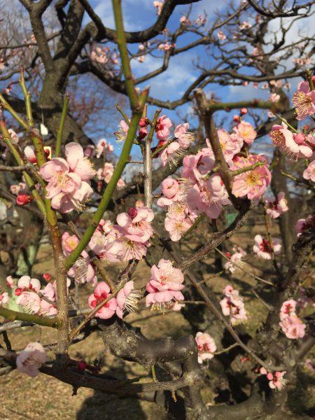 大阪城梅林 梅の花の見頃 2017