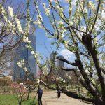 大阪城桃園 - Osaka Castle Park, Peach Blossom 2016