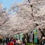 大阪城梅林 桜の花の見頃