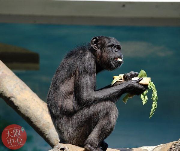 天王寺動物園 チンパンジーに「特製恵方巻き」をプレゼント