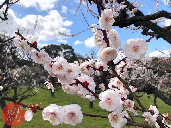 大阪城梅林 梅の花の見頃 2020