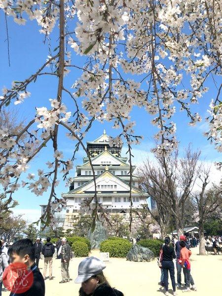 大阪城公園 桜の見頃 2020