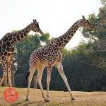 世界キリンの日 動物園スタッフによるガイド