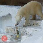ホッキョクグマ 特製の氷柱プレゼントイベント