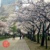 大阪城公園 桜の見頃 2021